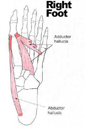 Foot-Abductor-Adductor-HallucisRight1